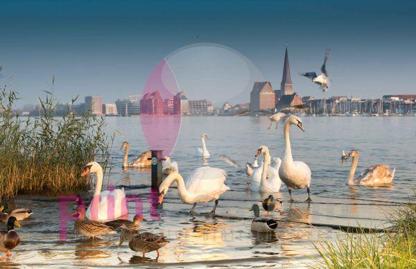 Rostock - Schwäne und Enten